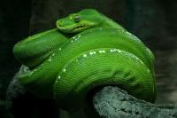 Photo of green snake representing serpent in garden of Eden