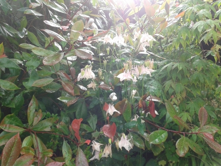 Allow space for the happy accidents, beautiful self-seeding plants like aquilega, loosening control allows natural beauty to flourish Photo of Aquilegia against the Phototinia fraseri and witch hazel in the first photo