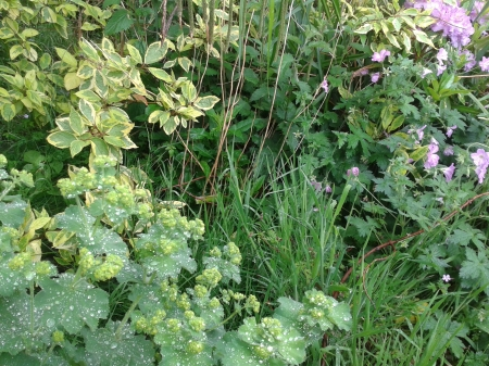 Sometimes on our journey we can so focus on the weeds we miss the beauty all around us  Photo of garden with alchemilla mollis, grass, nettles, pink geraniums, variegated willow, variegated Rhododendron with purple flowers