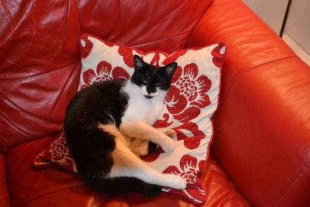 Photo of black and white cat when she had just woken up against red and white cushion and suite