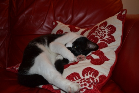 photo of black and white cat, one eye open, face protected by paws, against red and white cushion and suite.  Photo by Jeremy Sherlock