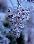 Photo of icicles forming over berries