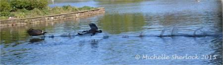 Motion - Canada goose mating season © Michelle Sherlock
