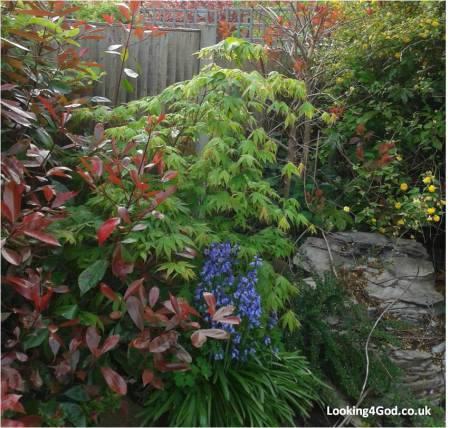 My garden is different - is yours?  Photo of a corner of a garden with a waterfall feature photinia fraseri red robin, belgian honeysuckle, cotoneaster,  witch hazel, bluebells, smoke bush, kerria japonica, fatsia, ferns,