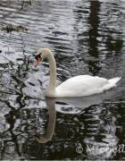 Swan - ugly duckling no more, by Michelle Sherlock